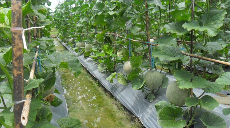 Cara Merawat Tanaman Melon