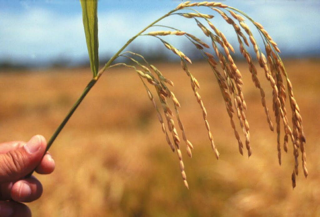 cara-membuat-benih-tanaman-padi