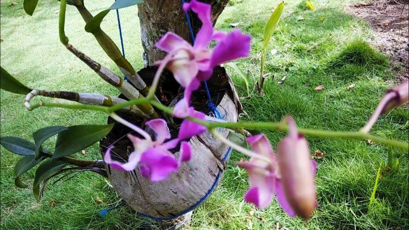 Cara membuat pot bunga anggrek dari sabut kelapa