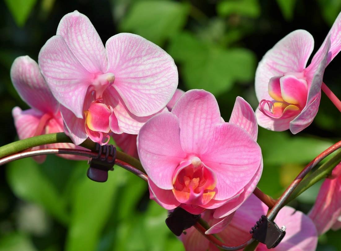 manfaat bunga anggrek bagi kesehatan