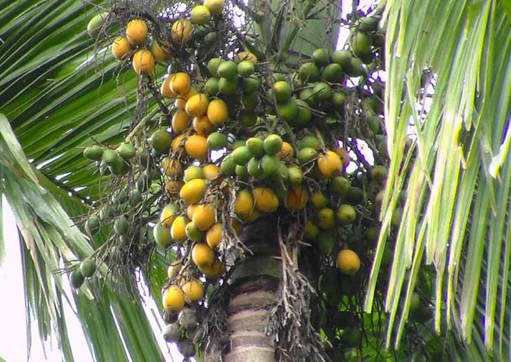 cara mengolah buah pinang