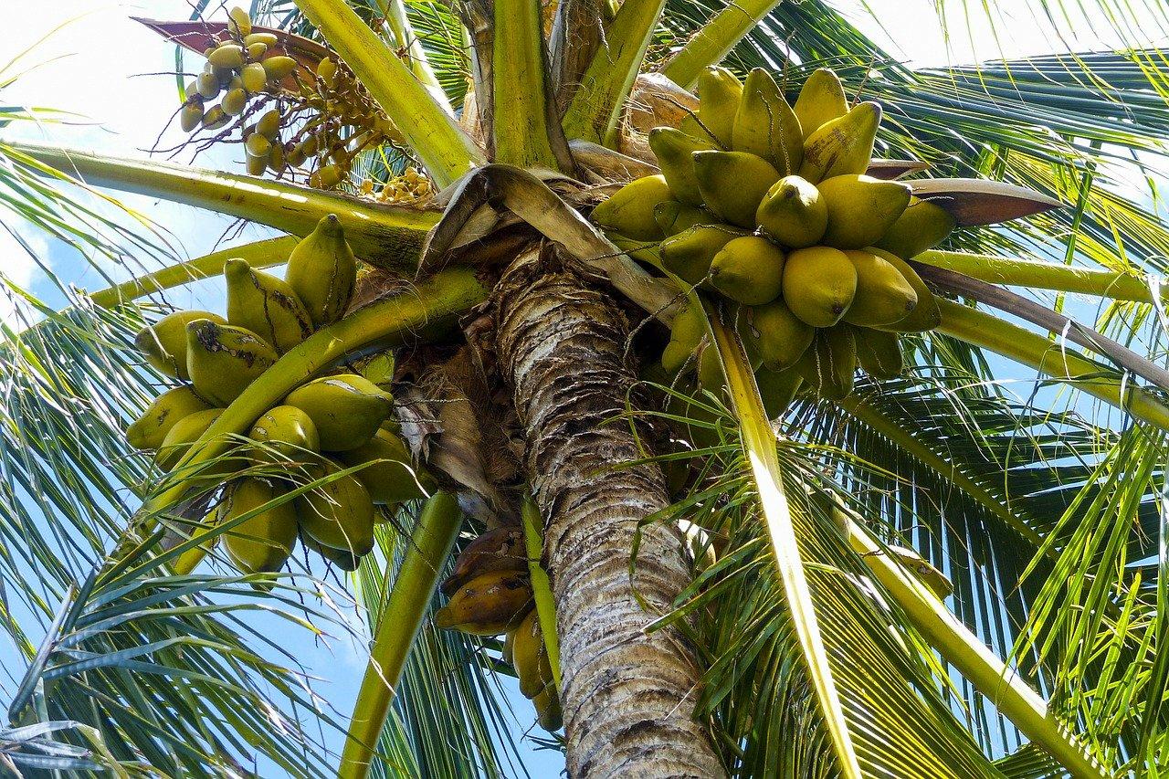 definisi kelapa